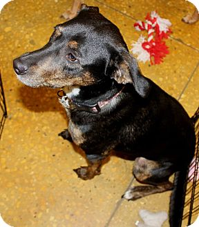 Labrador Retriever/Rat Terrier Mix Dog for Sale in Silsbee TX, Texas - Sally