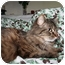 Photo 1 - Maine Coon Cat for adoption in SantaRosa, California - Percival
