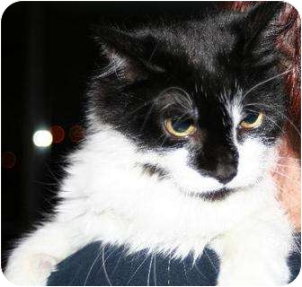 Domestic Longhair Cat for adoption in New York, New York - Fluffy