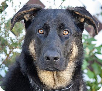 German Shepherd Dog Mix Dog for Sale in Los Angeles, California - Randolph von Rehna