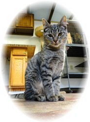 Domestic Shorthair Kitten for Sale in Shelton, Washington - Charlotte