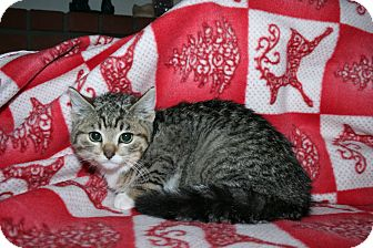 Domestic Shorthair Kitten for Sale in SantaRosa, California - Oliver