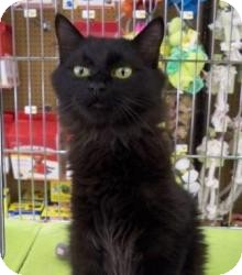 Domestic Mediumhair Cat for Sale in Sacramento, California - Blane N