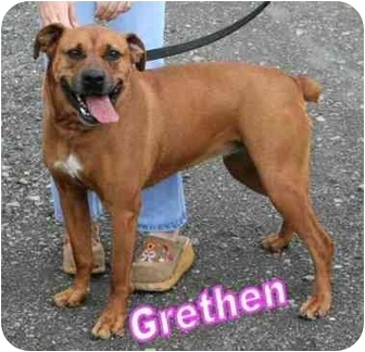 Binghamton, NY - Boxer/Rottweiler Mix. Meet Gretchen a Dog for ...