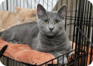 Domestic Shorthair Cat for Sale in Horsham, Pennsylvania - Brandie