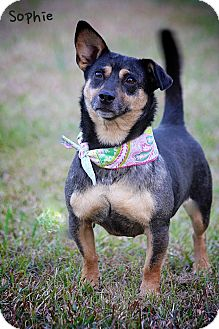 Australian Cattle Dog/Dachshund Mix Dog for adption in Wilmington, Delaware - Sophie