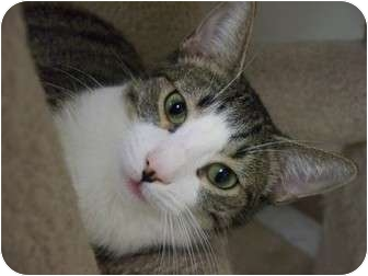 Domestic Shorthair Cat for adoption in Margate, Florida - Gin