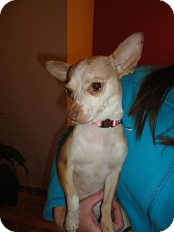 Chihuahua Mix Dog for Sale in Chicago, Illinois - Madison