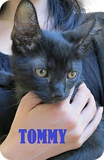 Domestic Shorthair Kitten for Sale in New York, New York - Tommy and Phil