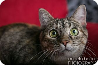 Domestic Shorthair Cat for Sale in Eagan, Minnesota - Clementine