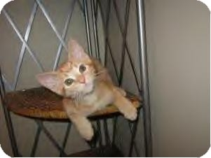 Domestic Shorthair Cat for Sale in Youngstown, Ohio - Jake-Adoption pending