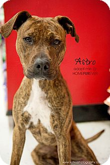 Hound (Unknown Type)/American Pit Bull Terrier Mix Dog for Sale in Detroit, Michigan - Astro-Adopted!
