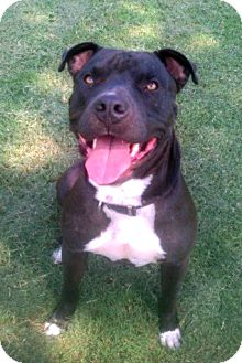 American Staffordshire Terrier Mix Dog for adption in Porter, Texas - Jimbo