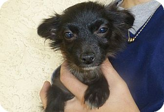 Pomeranian/Dachshund Mix Puppy for Sale in Oviedo, Florida - Peter