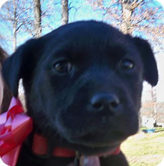 Labrador Retriever Mix Puppy for Sale in Manchester, Connecticut - Minny Lou  meet me 3/22