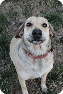Labrador Retriever/German Shepherd Dog Mix Dog for adption in Wytheville, Virginia - Darling Darla