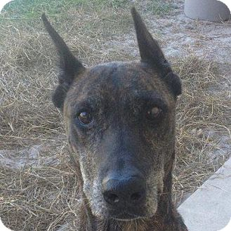 Doberman Pinscher Mix Dog for adption in Gainesville, Florida - Ebony