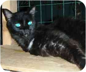 Domestic Mediumhair Cat for adoption in Pasadena, California - Duffy