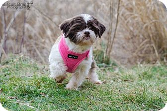 Shih Tzu Dog for Sale in Howell, Michigan - Holly