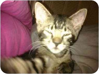 Bengal Kitten for adoption in Boca Raton, Florida - Savannah