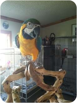 Macaw for Sale in Whitehall, Montana - Rio