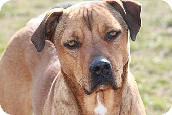 Rhodesian Ridgeback/Labrador Retriever Mix Dog for Sale in Russellville, Kentucky - Brianna