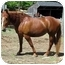 Photo 4 - Draft/Quarterhorse Mix for adoption in Washington, Connecticut - Sweet Pea