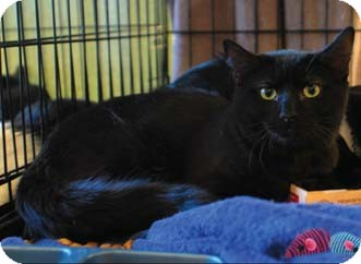 Domestic Shorthair Kitten for adoption in Merrifield, Virginia - Twilight & Dusk