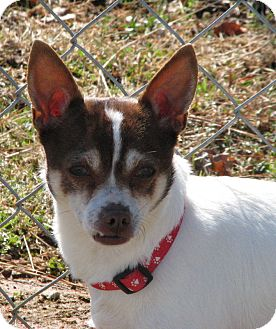 Chihuahua Mix Dog for Sale in Homewood, Alabama - Cooper