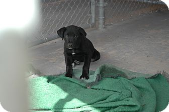 Labrador Retriever/Border Collie Mix Puppy for Sale in san antonio, Texas - Murphy