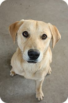 Labrador Retriever Mix Dog for adption in Stilwell, Oklahoma - Alice
