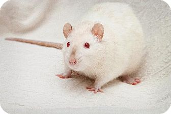 Rat for adoption in Boise, Idaho - Snow White