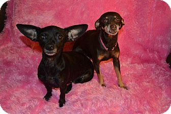 Chihuahua Dog for adption in Cranford, New Jersey - Cocoa