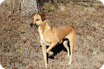 Black Mouth Cur Mix Dog for Sale in Flower Mound, Texas - Junebug