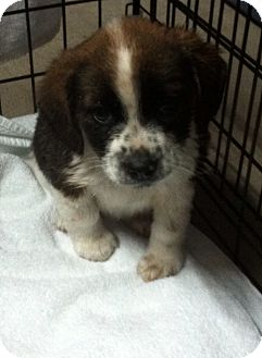 Collie Mix Puppy for Sale in Hazard, Kentucky - Fritzie