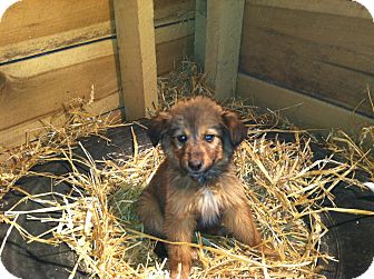 Shepherd (Unknown Type)/Sheltie, Shetland Sheepdog Mix Puppy for Sale in Nashville, Tennessee - Shelby