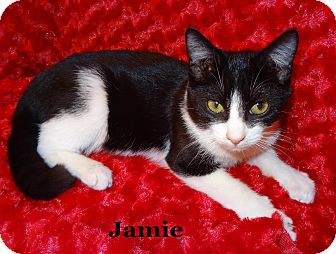 Domestic Shorthair Kitten for Sale in Bentonville, Arkansas - Jamie