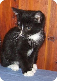 Domestic Shorthair Kitten for Sale in New Haven, Connecticut - Cedric
