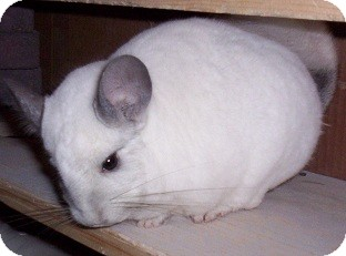 Chinchilla for Sale in Avondale, Louisiana - Monkey
