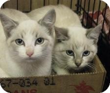 Siamese Cat for adoption in Jacksonville, Florida - Dell