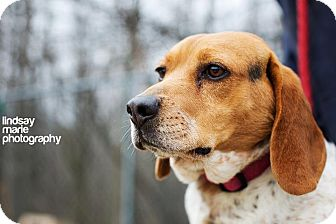 Beagle Dog for adption in Carey, Ohio - FINNEGAN