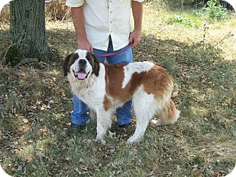 St. Bernard Dog for Sale in Germantown, Maryland - Jewel