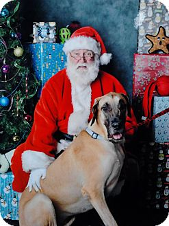 Great Dane Dog for Sale in Phoenix, Arizona - Frankie