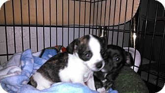 Chihuahua Mix Puppy for Sale in San Jose, California - Snoopy
