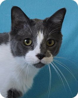 Domestic Shorthair Cat for adoption in Mesa, Arizona - Eliot
