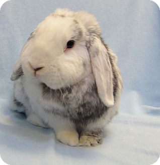 Mini Lop Mix for Sale in Los Angeles, California - Toki