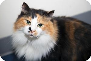 Domestic Longhair Cat for adoption in Manhattan, New York - ANGIE