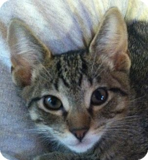 Domestic Shorthair Kitten for Sale in Winchester, California - The