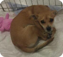 Chihuahua Mix Dog for Sale in Phoenix, Arizona - Marsha Brady