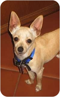 Chihuahua Mix Puppy for Sale in San Diego, California - Nick